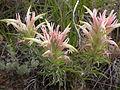 Castilleja sessilifolia (4000615831).jpg