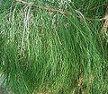 Casuarina equisetifolia2 ies.jpg