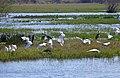 Cattle Egrets (Bubulcus ibis) and Grey Herons (Ardea cinerea) (25994650282).jpg