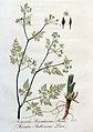 Caucalis scandicina — Flora Batava — Volume v4.jpg