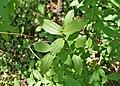 Ceanothus herbaceus kz01.jpg