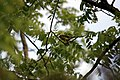 Cedar Waxwing - panoramio - NaturesFan1226.jpg