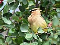 Cedar waxwing on Seedskadee National Wildlife Refuge (36123120086).jpg
