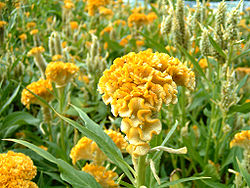 Celosia cristata 'Yellow Toreador'