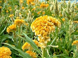 Celosia - Image: Celosia Cristata Yellow Toreador