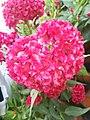 Celosia flowers.jpg