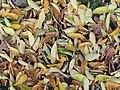 Celtis australis 20181115a.jpg