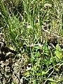 Centaurium pulchellum sl24.jpg