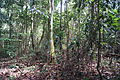 Central Catchment Nature Reserve near Sime Road, Singapore - 20130728.JPG