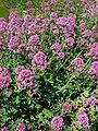 Centranthus ruber 2007-06-02 (plant).jpg