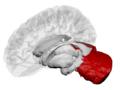 Cerebellum - DK ATLAS.png