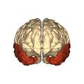Cerebrum - temporal lobe - anterior view.png