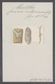 Ceriopora milleporacea - - Print - Iconographia Zoologica - Special Collections University of Amsterdam - UBAINV0274 093 16 0002.tif