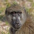 Chacma baboon (Papio ursinus griseipes) female head 2.jpg