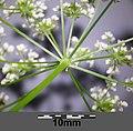 Chaerophyllum bulbosum sl33.jpg
