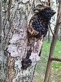 Chaga mushroom.jpg