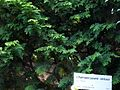Chamaecyparis obtusa 2 (Blue Mountains BG).jpg
