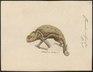 Chamaeleo vulgaris - 1700-1880 - Print - Iconographia Zoologica - Special Collections University of Amsterdam - UBA01 IZ12300029.tif