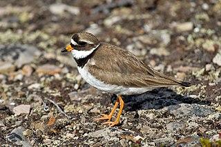 Common ringed plover Species of bird