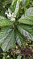 Chassalia curviflora 001.jpg