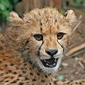 Cheetah cub close-up crop.jpg