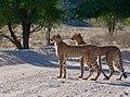 Cheetahs (Acinonyx jubatus) juveniles ... (51005628076).jpg
