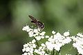 Cheilosia pagana ? (Diptera- Syrphidae) (7616356820).jpg