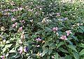 Chelone lyonii kz4.jpg