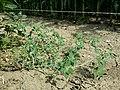 Chenopodium vulvaria sl136.jpg