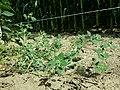 Chenopodium vulvaria sl139.jpg