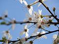 Cherry blossom (12876599795).jpg
