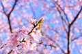 Cherry blossoms in Inzai, Chiba Prefecture; February 2016.jpg