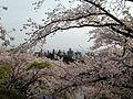 Cherry blossoms in front of torii of Terumo Shrine in Nishi Park 2.JPG