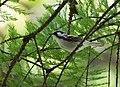 Chestnut-sided Warbler (47103751194).jpg