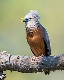 Chestnut-tailed Starling কাঠ শালিক 2.jpg