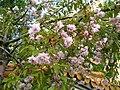 China garden in blossom, Saint Petersburg, Russia 03.jpg