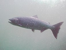 Chinook (King) salmon.jpg
