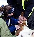 Chip settes på hund (8435368971).jpg