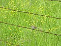 Chipping Sparrow perched on Barbed Wire.jpg