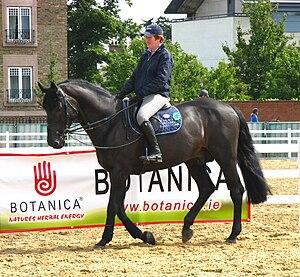 Irish Sport Horse - Irish Sport Horse stallion
