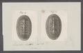Chiton spec. - - Print - Iconographia Zoologica - Special Collections University of Amsterdam - UBAINV0274 081 06 0007.tif