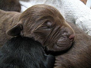 These are 3 day old Labrador Retriever puppies.
