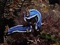 Chromodoris lochi, Anilao.jpg