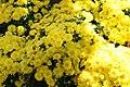 Chrysanthemum Sunny Brigitte 1zz.jpg