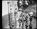Chrysanthemums at the Annual Dept. of Agric. Show, Wash., that have been named after celebrities. Lft. to rt.- Grace Coolidge, Gen. Pershing, Princess Nayako, Secy. Meredith, Admiral Beatty LCCN2016893855.jpg