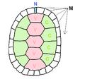 Chrysemysb rotates.png
