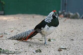 Lady Amherst's pheasant - Male at Parc Paradisio, Hainaut, Belgium