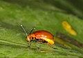 Chrysomelidae indet. (5486434502).jpg