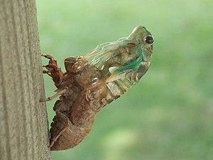 Cicada III.jpg