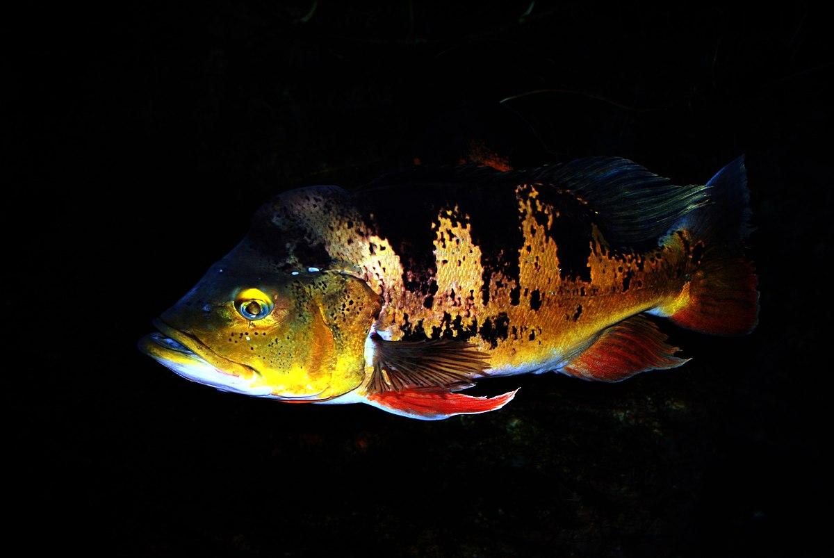 Peacock bass - Wikipedia